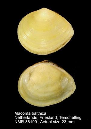 Limecola balthica