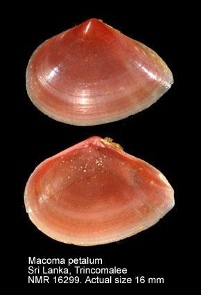Macoma takahokoensis