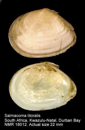 Salmacoma litoralis