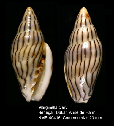 Marginella cleryi