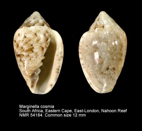 Marginella cosmia