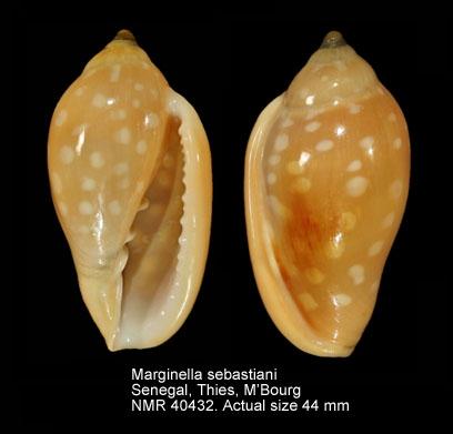 Marginella sebastiani