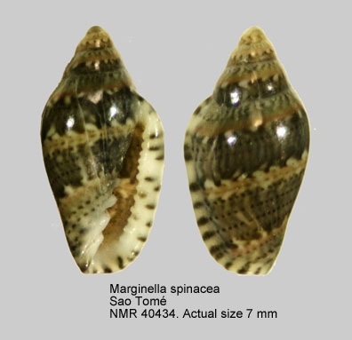 Marginella spinacia