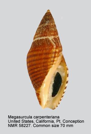 Megasurcula carpenteriana