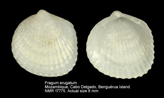 Microfragum erugatum