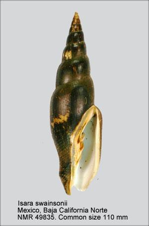 Mitra swainsonii