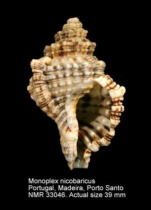 Monoplex nicobaricus
