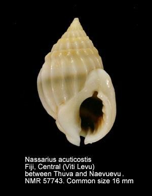Nassarius acuticostus