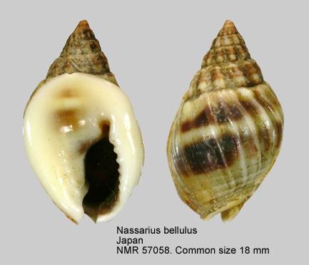 Nassarius bellulus