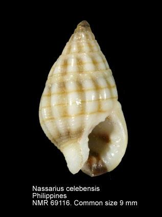 Nassarius celebensis
