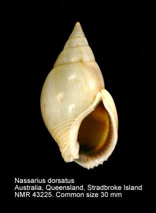 Nassarius dorsatus