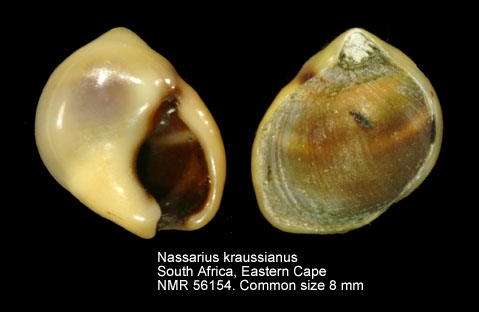 Nassarius kraussianus
