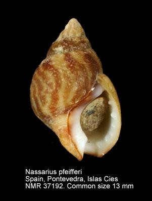 Nassarius pfeifferi