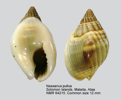 Nassarius pullus