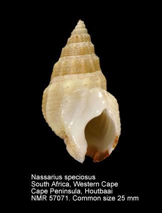 Nassarius speciosus