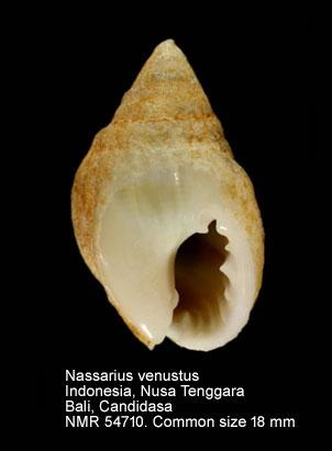 Nassarius venustus