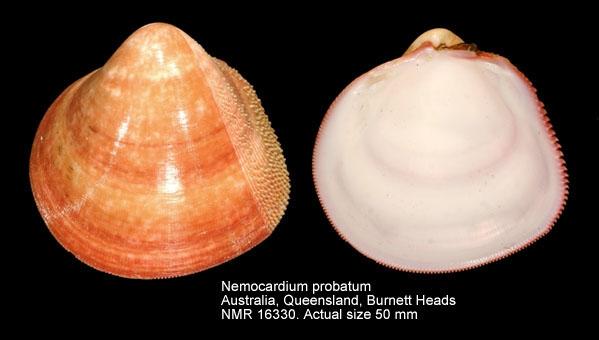 Nemocardium probatum