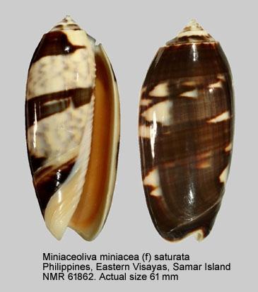 Oliva miniacea