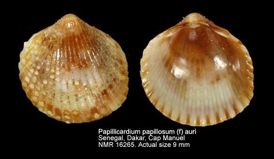 Papillicardium papillosum