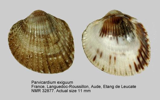 Parvicardium exiguum