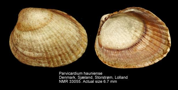 Parvicardium hauniense
