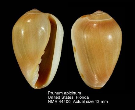 Prunum apicinum