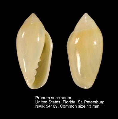 Prunum succinea