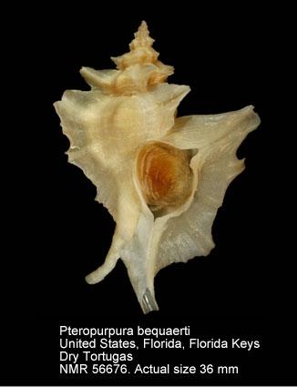 Pteropurpura (Pteropurpura) bequaerti