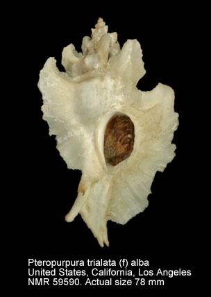 Pteropurpura (Pteropurpura) trialata