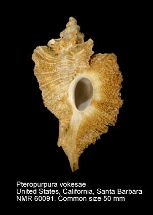 Pteropurpura (Pteropurpura) vokesae