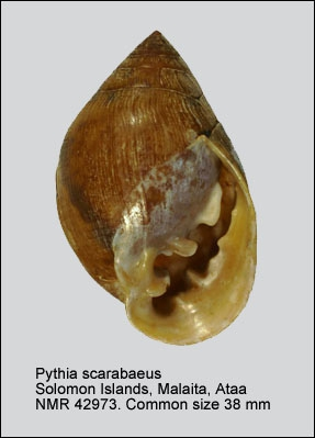 Pythia scarabaeus