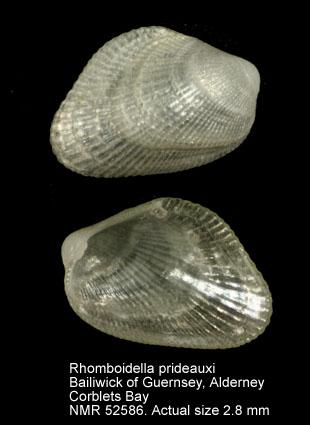 Rhomboidella prideauxi