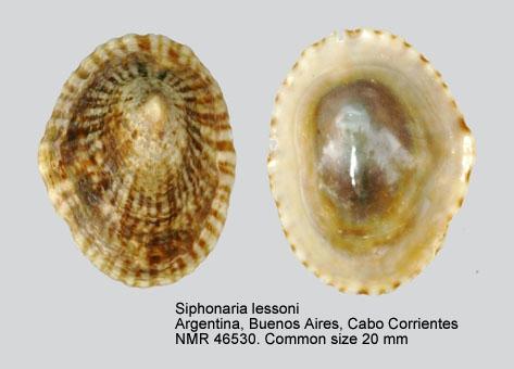 Siphonaria lessonii