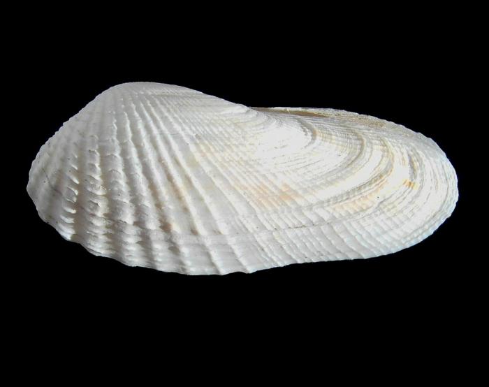 Petricola pholadiformis Lamarck, 1818