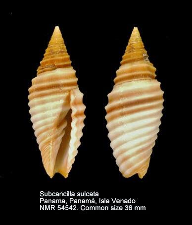Subcancilla sulcata