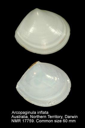 Arcopaginula inflata