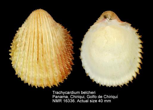 Trachycardium belcheri