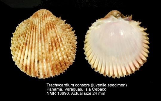 Trachycardium consors