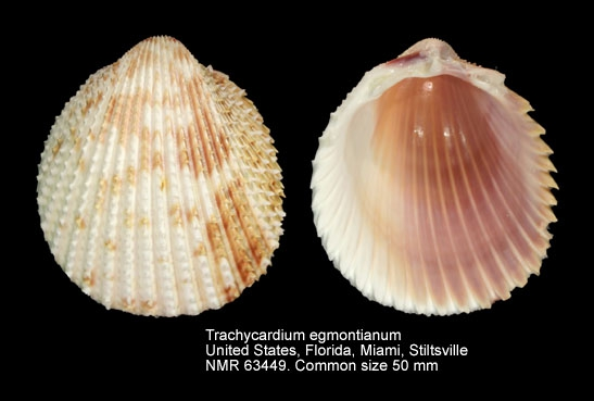 Trachycardium egmontianum