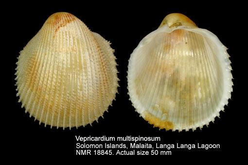 Vepricardium multispinosum