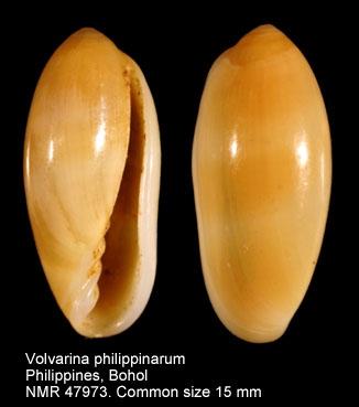 Volvarina philippinarum