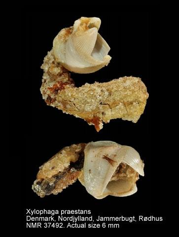 Xylophaga praestans