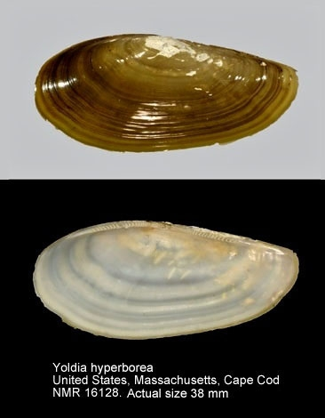 Yoldia amygdalea