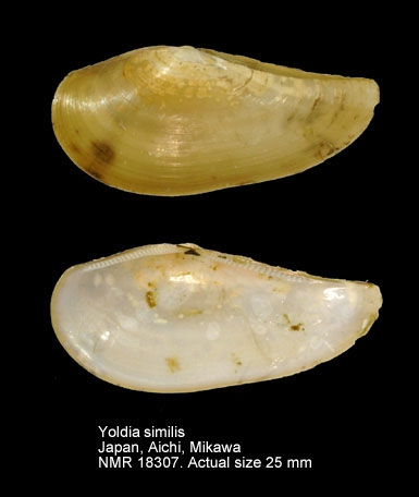 Yoldia similis