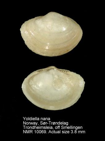 Yoldiella nana
