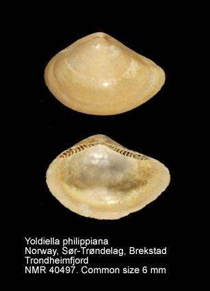 Yoldiella philippiana