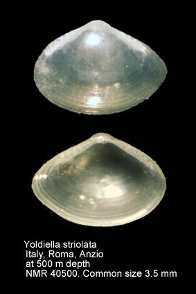 Yoldiella seguenzae