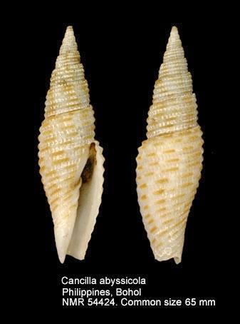 Profundimitra abyssicola