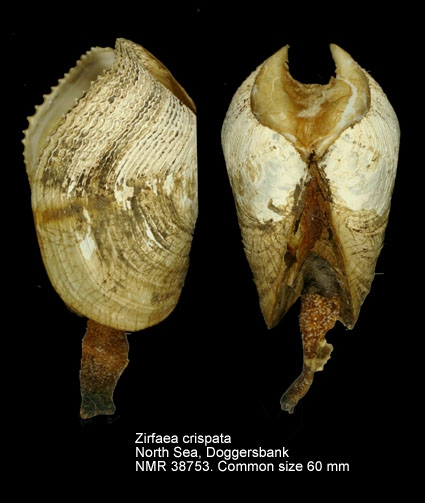 Zirfaea crispata