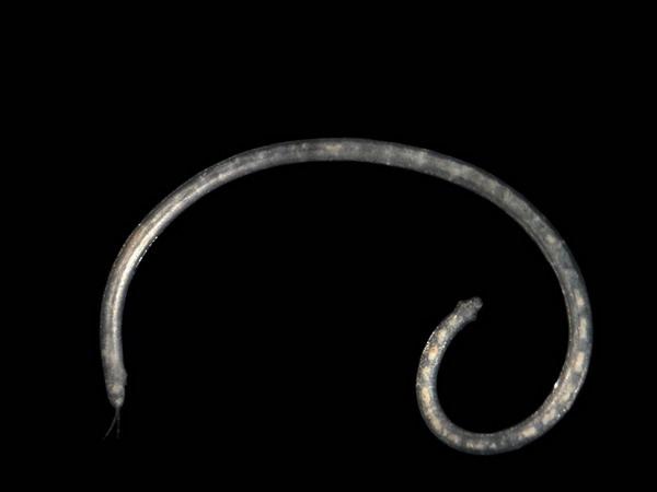 Polygordius appendiculatus Fraipont, 1887